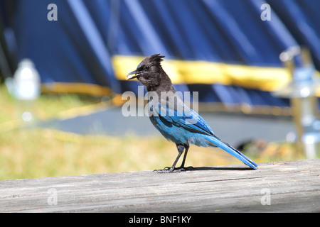 stellar jay bird on a picnic table while camping in the pacific northwest. the bird is eating some peanuts it stole - Stock Photo