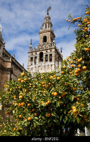 Giralda (former mosque minaret converted into Cathedral bell tower) behind fruiting orange fruit tree. Seville / - Stock Photo