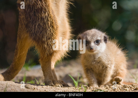 suricate, slender-tailed meerkat (Suricata suricatta), infant sitting on the ground beside a securing adult - Stock Photo