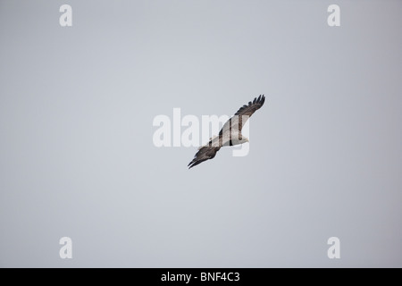 A White-tailed eagle, Haliaeetus albicilla, soaring in the mist above the island Runde on the Atlantic west coast, - Stock Photo