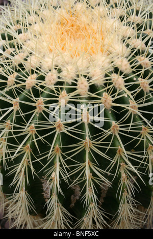 Close Up Of A Barrel Cactus Spines Taken At Ness Botanical Gardens, Wirral, UK - Stock Photo