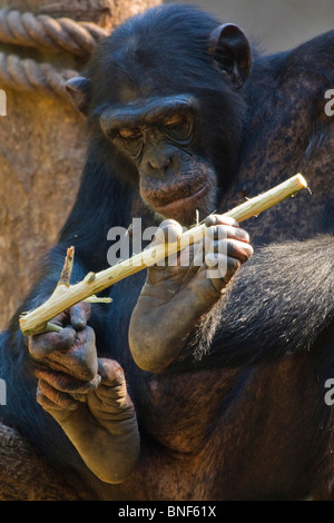 Western common chimpanzee (Pan troglodytes verus), holding peeled branche in his feet - Stock Photo