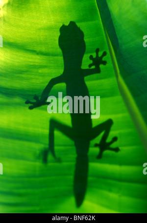 Silhouette of a Satanic Leaf Tailed Gecko (Uroplatus Phantasticus) Madagascar, Africa - Stock Photo