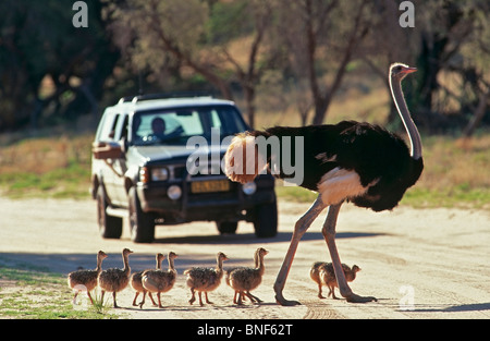 Close-Up view of Common Ostrich (Struthio camelus) and chicks crossing a road, Kgalagadi Transfrontier Park, South - Stock Photo