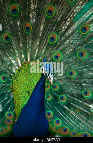 Portrait of a Peacock displaying his tail feathers, Pietermaritzburg, KwaZulu-Natal Province, South Africa - Stock Photo