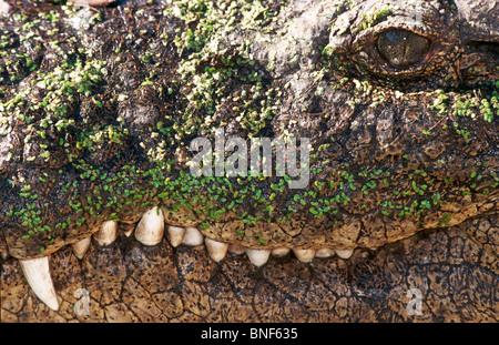 Close-Up of Nile Crocodile (Crocodylus nilotica) mouth and teeth, St Lucia, KwaZulu-Natal Province, South Africa - Stock Photo