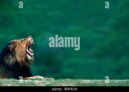 View of a Lion (Panthera leo) laying on the ground, Kruger National Park, Mpumalanga Province, South Africa - Stock Photo