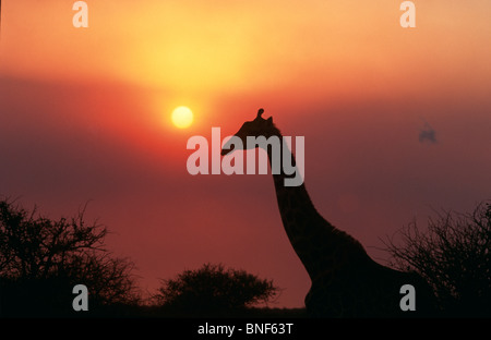 Silhouette of Giraffe (Giraffa Camelopardalis) against sunset, KwaZulu-Natal Province, South Africa - Stock Photo