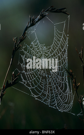 Spider web covered in dew hanging from grass, Midlands, KwaZulu-Natal Province, South Africa - Stock Photo