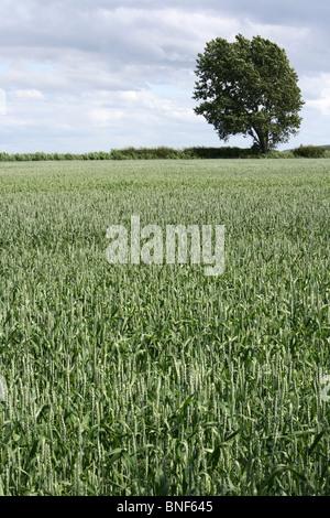 Fresh Wheat Field And Lone Tree Taken In Lancashire, UK - Stock Photo