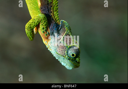 Close up view of a Southern Dwarf Chameleon (Bradypodian ventrale),Tsitsikamma National Park Eastern Cape Province - Stock Photo