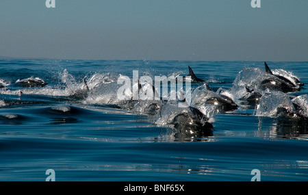 Long-beaked Common Dolphin (Delphinus capensis) pod in sea, Eastern Cape Province, South Africa - Stock Photo