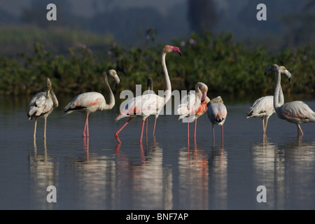 Greater Flamingo (Phoenicopterus roseus) most widespread species of the flamingo family. It is found in parts of - Stock Photo