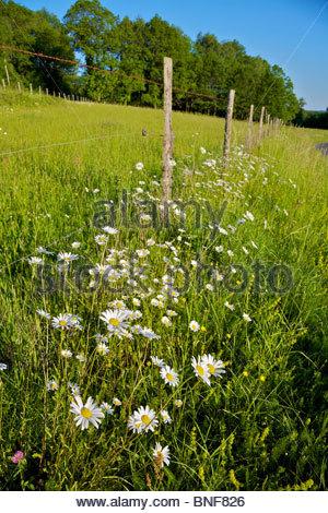 Oxeye Daisies (Leucanthemum vulgare) growing along a fence line. La Creuse, Limousin, France. - Stock Photo