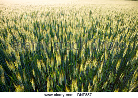 Wheat growing on a small organic farm in rural France in late spring with warm afternoon light - Stock Photo