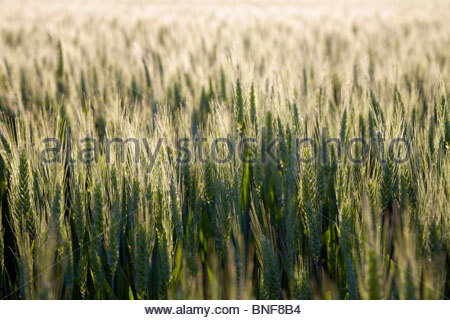 Wheat growing on a small organic farm in rural France in late spring. Warm afternoon Light. La Creuse, Limousin, - Stock Photo