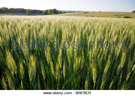 Wheat growing on a small organic farm in rural France in late spring. La Creuse, Limousin, France. - Stock Photo