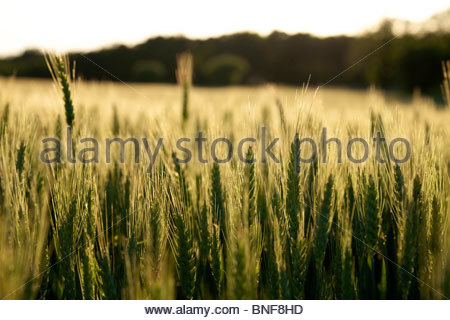 Wheat growing on a small organic farm in rural France in late spring. Backlit by the setting sun. La Creuse, Limousin, - Stock Photo