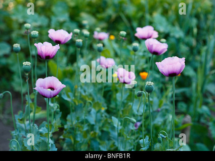 Beautiful violet poppies on a rural kitchen garden. Papaver somniferum, Opium poppy. - Stock Photo