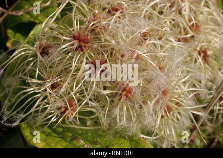 Traveller's-joy (Clematis vitalba : Ranunculaceae), fruits beginning to dehisce, UK. - Stock Photo