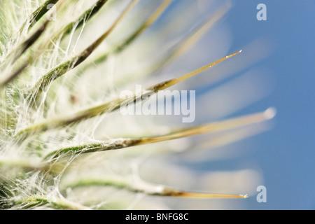Cotton Thistle. Onopordon acanthium. - Stock Photo