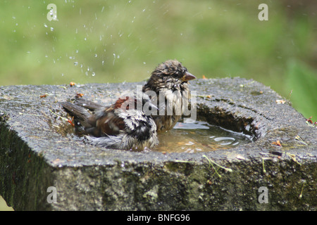 A pair of House Sparrows taking a bath. - Stock Photo