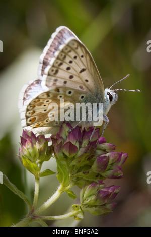 Male chalkhill blue butterfly (Polyommatus coridon) on marjoram flowers. - Stock Photo