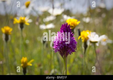 Pyramidal orchid (Anacamptis pyramidalis) in summer meadow - Stock Photo