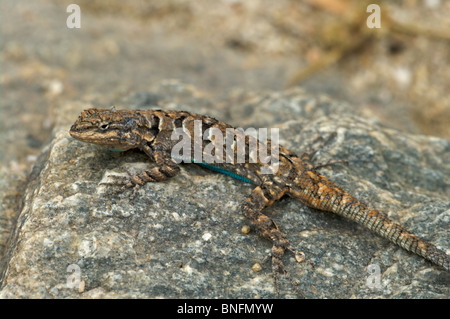 A strongly patterned Schott's Tree Lizard (Urosaurus ornatus schottii) perched on a rock in Sabino Canyon, Tucson, - Stock Photo
