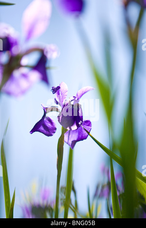 A purple iris flower with green leaves - Stock Photo