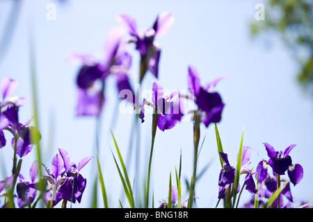 Purple iris flowers against blue sky - Stock Photo