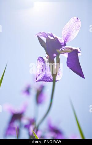 A purple iris flower in sunlight - Stock Photo