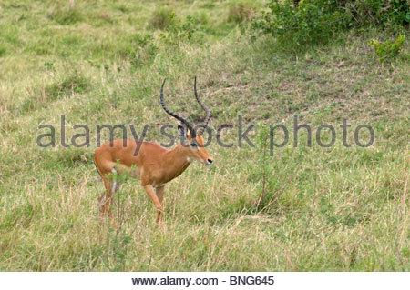 Impala (Aepyceros melampus),Masai Mara National Reserve,Kenya. - Stock Photo