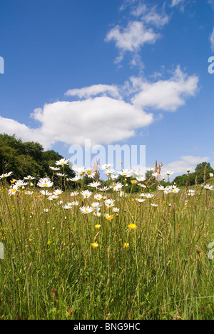 Oxeye Daisies (Leucanthemum vulgare) growing on a Nature reserve in the Herefordshire countryside. - Stock Photo
