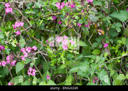 Red Campion by a hedge near Chatsworth summer Derbyshire England - Stock Photo