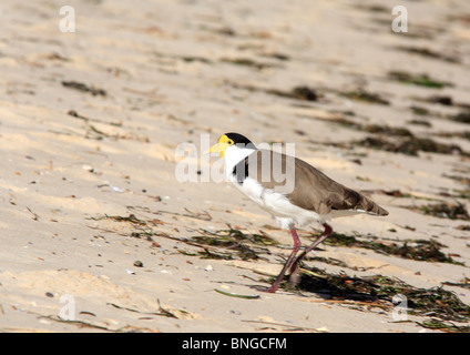 Spur-winged Plover, or Masked Lapwing, Vanellus miles novaehollandiae, walking on the beach - Stock Photo