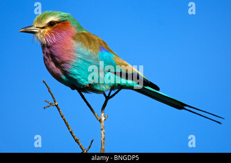 Lilac-breasted roller, Coracias caudatus, Madikwe Game Reserve, South Africa - Stock Photo