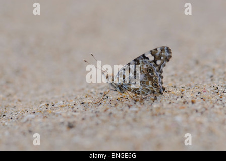 Close-up low angle of Elfin Skipper( Sarangesa motozi) on sand. They're easily identifiable by their clear spots - Stock Photo
