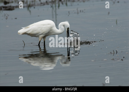 Little Egret catching fish in the shallows of Lake Jozini, Phongolo River, Kwazulu-Natal, South Africa. - Stock Photo