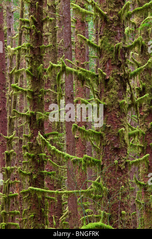 Hemlock trees in a forest, Hoh River Trust, Washington State, USA - Stock Photo