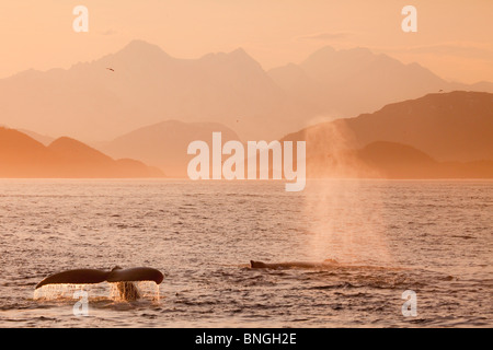 Humpback whales (Megaptera novaeangliae) breaching in the sea, Cross Sound, Alexander Archipelago, Alaska, USA - Stock Photo