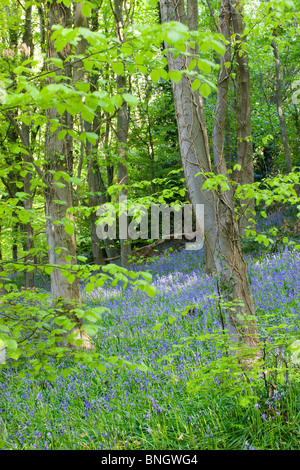 Common bluebells (Hyacinthoides non-scripta) growing in Coed Cefn woods, Brecon Beacons National Park, Powys, Wales. - Stock Photo