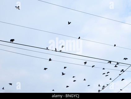 Low angle view of a flock of birds perching on a power lines, Seattle, Washington State, USA - Stock Photo