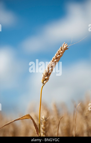 Triticum aestivum. Wheat in a field in the English countryside - Stock Photo