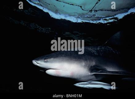 Zambezi Bull Shark (Carcharhinus leucas) and symbiotic Remora, Natal Coast, South Africa - Indian Ocean. - Stock Photo