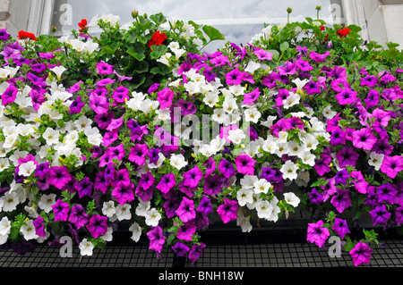 Close up of colourful display of Petunias flowers in bloom in window box of office building beside busy London road - Stock Photo
