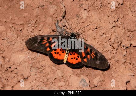 Ward's Glorious Acraea Butterfly (Acraea pharsalus : Acraeidae) feeding on dead frog in rainforest, Ghana. - Stock Photo