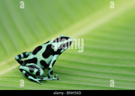 Green and Black Poison Frog, Dendrobates auratus, in rainforest, Chilamate, Costa Rica - Stock Photo