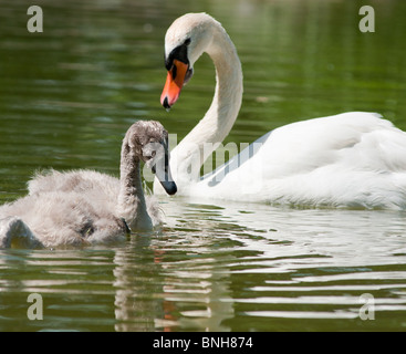 Mother and baby swans - Stock Photo