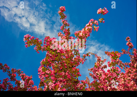 Apple blossoms on a blue sky background. - Stock Photo